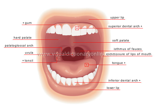 Mouth and teeth anatomy