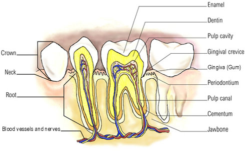 Anatomy of teeth and gums